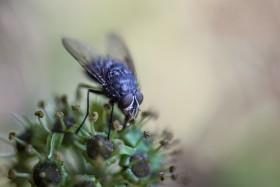 mucha na kwiatach bluszczu, fot Kasia Nizinkiewicz
